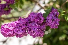 Plan rapproché de buissons lilas dans le jardin Photo libre de droits