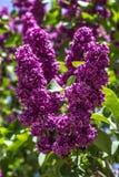 Plan rapproché de buissons lilas dans le jardin Horticulture directement Photo stock