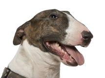 Plan rapproché de bull-terrier, 5 années Photo stock