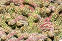 Plan rapproché de cactus Photo stock