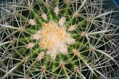 Plan rapproché de cactus de baril d'or Photographie stock libre de droits