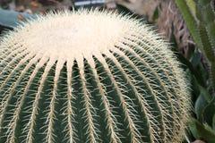 Plan rapproché de cactus de baril image libre de droits