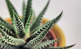 Plan rapproché de cactus succulent de Haworthia macro sur un fond blanc photographie stock