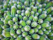 Plan rapproché de cactus vert frais Photo libre de droits