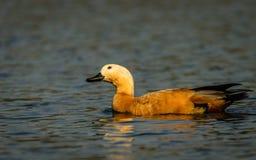 Plan rapproché de canard de Brahminy photos libres de droits