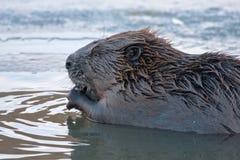 Plan rapproché de castor eurasien Photos libres de droits