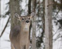 Plan rapproché de cerfs communs Photos stock