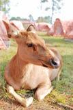 Plan rapproché de cerfs communs Photographie stock