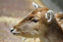 Plan rapproché de cerfs communs affrichés Photo stock