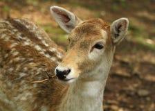 Plan rapproché de cerfs communs affrichés Photographie stock