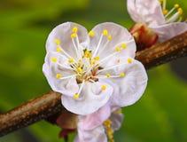 Plan rapproché de cerise de fleur Photos stock