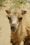 Plan rapproché de chameau Photo stock