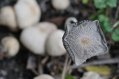 Plan rapproché de champignon de couche Photographie stock libre de droits