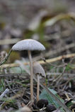 Plan rapproché de champignon de couche Photographie stock