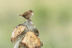 Plan rapproché de chant d'oiseau de troglodytes de Wren Troglodytes d'Eurasien Image libre de droits