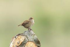 Plan rapproché de chant d'oiseau de troglodytes de Wren Troglodytes d'Eurasien Images stock