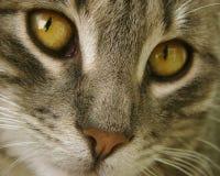 Plan rapproché de chat Photos libres de droits