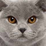 Plan rapproché de chat britannique de Shorthair Image libre de droits