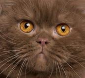 Plan rapproché de chat britannique de shorthair, 2 années Photo stock