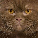 Plan rapproché de chat britannique de shorthair, 2 années Image libre de droits