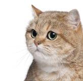 Plan rapproché de chat britannique de Shorthair, 2 années Photos stock