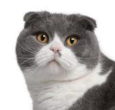 Plan rapproché de chat de pli d'écossais photo libre de droits