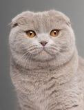 Plan rapproché de chat de pli d'écossais images stock