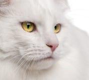 Plan rapproché de chat de ragondin du Maine Images stock