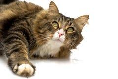 Plan rapproché de chat norvégien Photo libre de droits