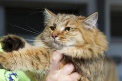 Plan rapproché de chat norvégien de forêt sans dans l'expo féline photos libres de droits
