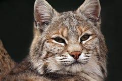Plan rapproché de chat sauvage Photo stock