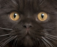 Plan rapproché de chaton de pli d'écossais Photographie stock libre de droits