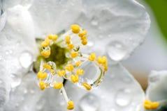 Plan rapproché de Cherry Blossom avec des baisses de l'eau Image libre de droits