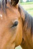 Plan rapproché de cheval Images stock