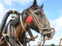 Plan rapproché de cheval de trait Photos libres de droits