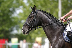 Plan rapproché de cheval sautant d'exposition pendant l'équitation de concurrence entre les obstacles Photo stock