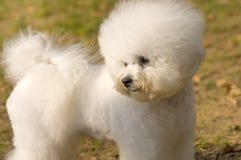 Plan rapproché de chien de Bichon Frize Photos libres de droits
