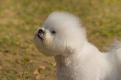 Plan rapproché de chien de Bichon Frize Photographie stock