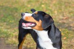 Plan rapproché de chien de chasse Images stock