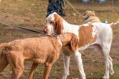 Plan rapproché de chien de chasse Image libre de droits