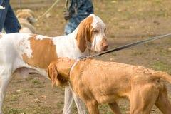 Plan rapproché de chien de chasse Photos libres de droits