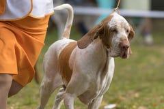 Plan rapproché de chien de chasse Photos stock