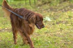 Plan rapproché de chien de chasse Image stock