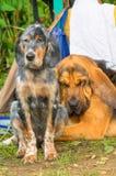 Plan rapproché de chien de chasse Photo stock