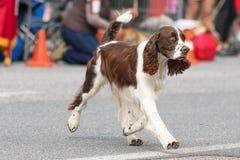 Plan rapproché de chien de chasse Photographie stock