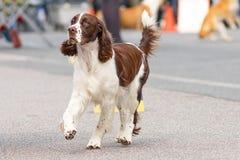 Plan rapproché de chien de chasse Photo libre de droits