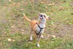 Plan rapproché de chien de chiwawa Images stock