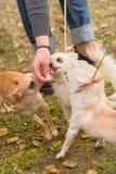 Plan rapproché de chien de chiwawa Images libres de droits