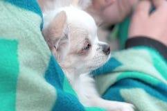 Plan rapproché de chien de chiwawa Image libre de droits