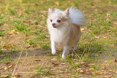Plan rapproché de chien de chiwawa Photo stock